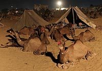 Early Morning Sleeping Camels
