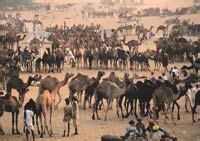 Thousands of Camels